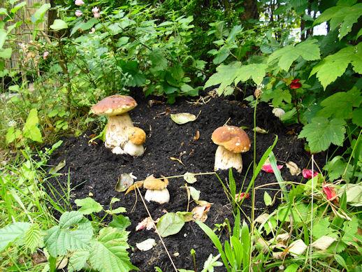 steinpilze selber z chten pilze selber z chten steinpilze champignons und co pilze selber z. Black Bedroom Furniture Sets. Home Design Ideas