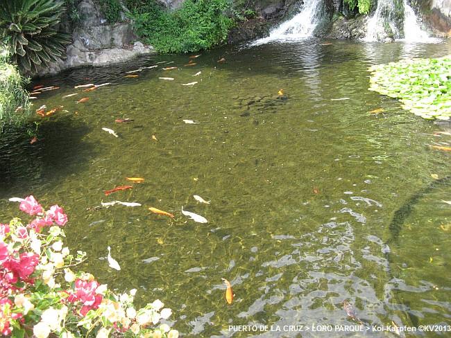 Loro parque parte 1 teil 1 thai dorf koi karpfen for Koi und goldfische in einem teich