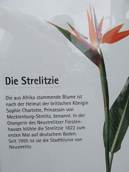 1565 mecklenburg vorpommern neustrelitz orangerie strelitzien deutschland schoener. Black Bedroom Furniture Sets. Home Design Ideas