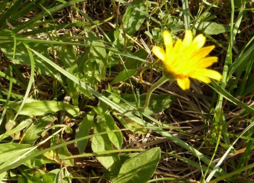 Löss-Löwenzahn, Blüte und Blattrosette