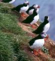 Süden: Küste Papageientaucher