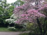 Wien, Botanischer Garten, Blumenhartriegel