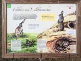 Martinstherme Feldhase Wildkaninchen