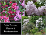 Rhododendron2 (2)